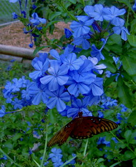 Study in blue (Fuzzy fotos Florida) Tags: blue fall last butterfly garden blooms plumbago