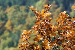 """Autumn (Carlo """"Granchius"""" Bonini) Tags: leaves foglie dof autunno gmt laverna sanfrancesco stimmate carlobonini granchius forestedelcasentinese"""