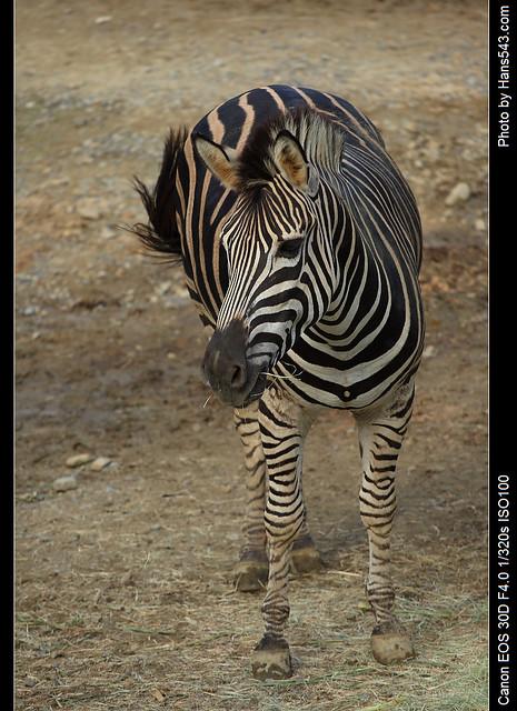 查普曼斑馬_Chapman's Zebra_03