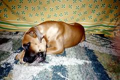 Koen, the Rabies Dog