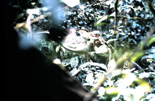 Okapi feeding in the Ituri Forest