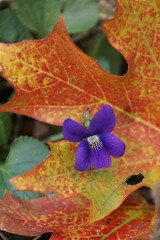 October Violet (Canicuss) Tags: autumn red orange flower macro green fall leaves yellow closeup contrast leaf colorful purple violet mo kansascity missouri surprise veins delicate octobersurprise sonya100 colourartaward artlegacy canicuss