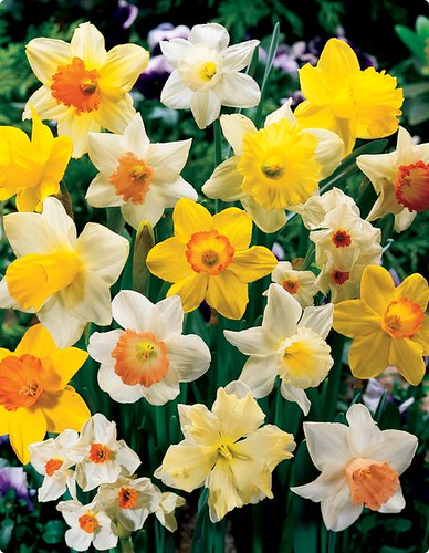 Daffodil And Narcissus Mix by you.