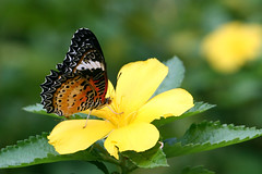 Butterfly & flower (papaija2008) Tags: travel flower nature digital canon butterfly thailand eos rebel asia south east tamron animalplanet perhonen kukka 2875mm thaimaa xti animaladdiction 400d naturewatcher earthasia wonderfulworldofflowers awesomeblossoms