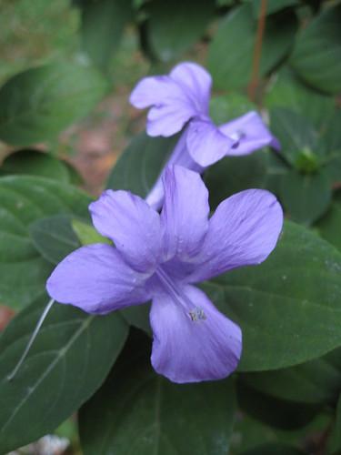 Phillipine violet (Barleria cristata)