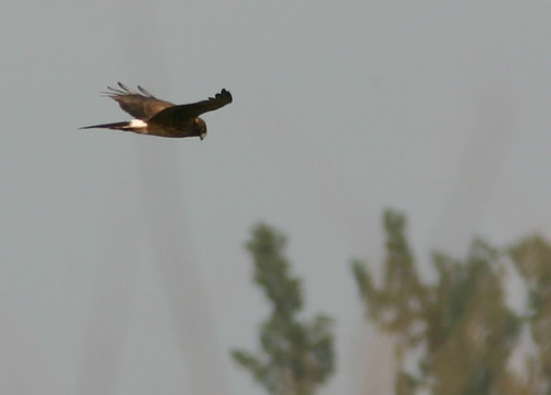 Northern Harrier 2008_10_31