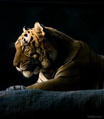 facing the light (Heilah Alnasser) Tags: vegas usa nikon lasvegas tiger nevada sigma nv 2008 secretgarden 70300 d300 heilah siegfriedroyssecretgarden animalkingdomelite heilahn