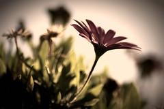 "#8 :: A ""Soul"" Survivor.. (SonOfJordan) Tags: autumn blur flower nature eos bokeh amman jordan wisdom survival aristotle xsi passionphotography 450d  goldstaraward flickrlovers samawi sonofjordan shadisamawi  wwwshadisamawicom"