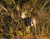 Medina County Buck (TheHullabaloo) Tags: texas deer antlers rack buck whitetail southtexas whitetaildeer whitetails