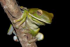White lipped tree frog (Robert Howard) Tags: tree green animal fauna wildlife australia amphibian frog whitelippedtreefrog