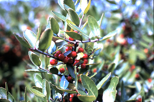 Ilex vomitoria (Yaupon holly)