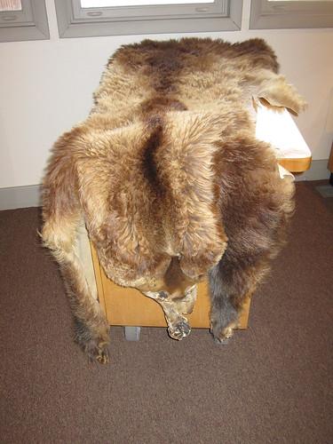 montana - bear skin rug