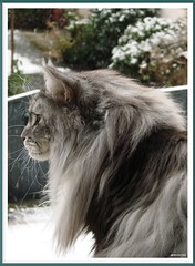 Herr Maxwells Gespr fr Schnee - Maxwells Sense of Snow (Jorbasa) Tags: schnee pet snow macro smart animal cat germany deutschland bestof hessen maine coon mainecoon maxwell katze kater gemany wetterau cc100 jorbasa blackclassicsilvertabby