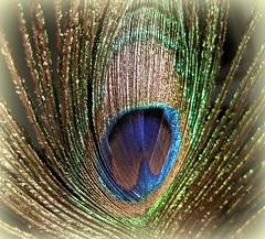 Proud as a Peacock (dart5150) Tags: peacockfeather shiny blue green gold cupcakes sparkly fun beautiful macro silvermedal cubism goldenheartaward damniwishidtakenthat