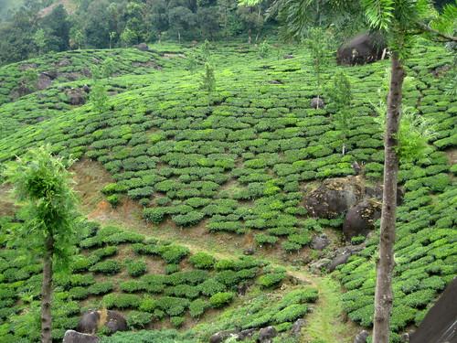 Tea terrace