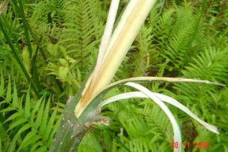 Kratom  red vein tree2 picture photo bild