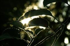 SOOC (the photobug) Tags: light sun green leave nature bokeh sunglare beautifulbokeh