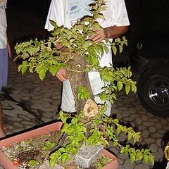 09_350 (Rock Jnior - Terra Bonsai) Tags: primavera bougainvillea bonsai