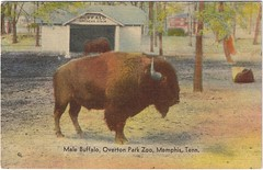Male Buffalo (fwagner2000) Tags: buffalo bison memphiszoo