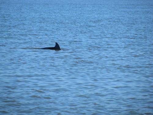 IMG_5667-Estero-Bay-bottlenose-dolphin