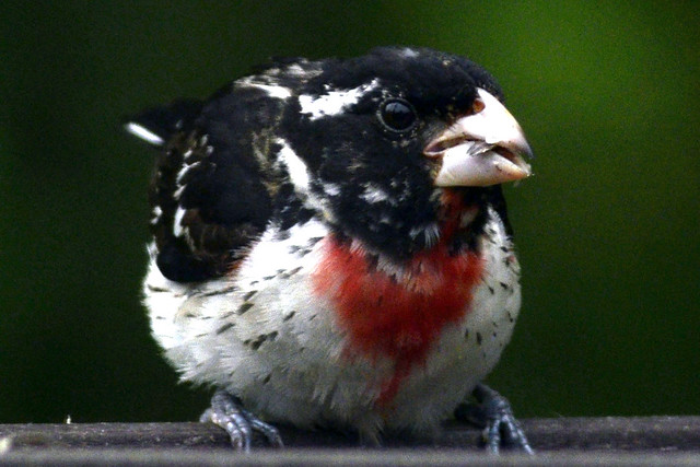 juvi redbreasted grosbeak 2