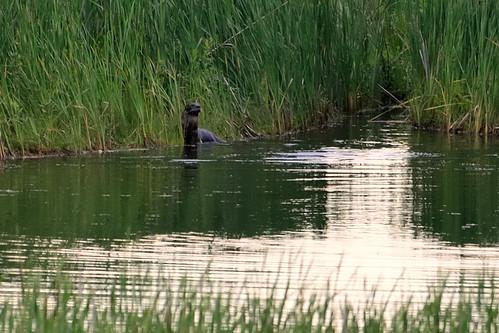 River Otter DSC_7821