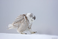 Snowy owl and bird photography ethics (RichardDumoulin) Tags: winter snow canada snowy des qubec richard owl neiges harfang dumoulin