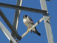 Peale's Peregrine Falcon - Oh-Hayabusa (David in Chippenham) Tags: birds japan falcon 500 raptors peregrine dld peregrinefalcon  falcoperegrinuspealei izumishi kagoshimaken arasaki dmcfz8 ohhayabusa pealesperegrinefalcon distinquishedraptors