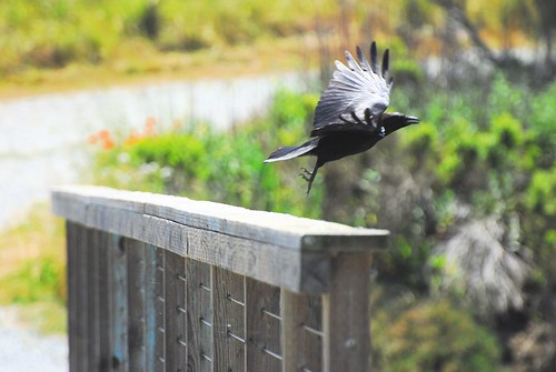 Corvid in flight