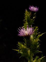 (_Zahira_) Tags: light flower luz lafotodelasemana flor olympus nd cardo e500 uro 100vistas i500 35mmmacro p1f1 ltytrx5 ltytr1 interestigness460 2ºolympicframe