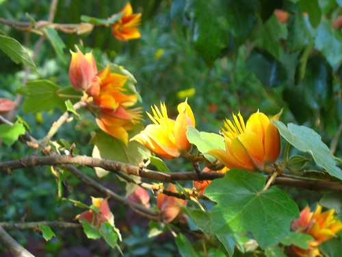 X Chirantodendron Fremontodendron