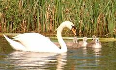 mum and kids b (lost45manuk) Tags: swans cygnets andoveruk antonlakes