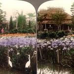 WHITE CRANES AMONG THE IRIS -- Kabota Iris Gardens Near Omori, Japan thumbnail