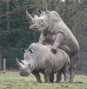 lisieux_rhinoceros_02_2006