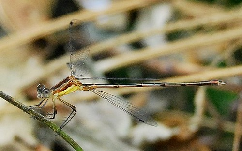 Damselfly -- Side View