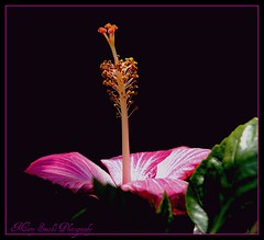 Standing Alone ~ (**Mary**) Tags: pink flower stamens pistil hibiscus blackground pollen picnik hibiscuswonder