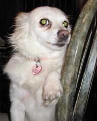 oh pearl! (photocatt) Tags: dog cute dogs pearl cuteness cutedogs littledogs