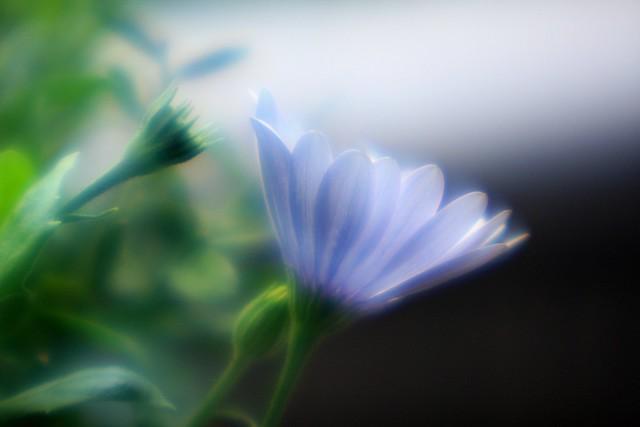 african daisy, soft focus