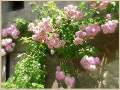 LOVELY OLD WALL & BLOOMING ROSES (hornihelena) Tags: old roses gardens architecture fleurs walls fabulous vanishingbeauty blueribbonwinner infinestyle colourvisions flickrlovers