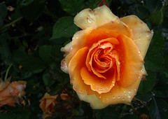 na de regen (roberke) Tags: flower rain rose garden roos raindrops tuin regen bloem flowerscolors
