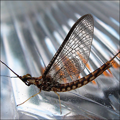 The last dance… (NaPix -- (Time out)) Tags: whatisthis macro bug dragonflies explore mayfly ephemeroptera lastdance justimagine canadiansoldier paleoptera thegoldendreams napix shotfly shortlifespanofadults 630speciesinnorthamerica wowididntknowthat