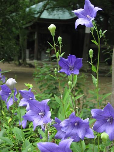 根香寺境内に咲く桔梗(ききょう)