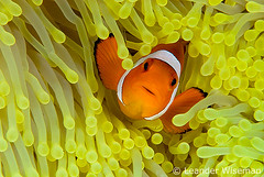 Anemonefish @ Layang Layang (lndr) Tags: ocean sea macro uw water digital nikon marine underwater nemo clown dive deep scuba diving clownfish anemone malaysia borneo diver 105 d200 layang malaysian fins anemonefish southchinasea wiseman leander layanglayang falseclownfish subaquatic subal uwphoto mywinners portatrait anemonfish leanderwiseman