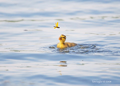 a tug at the heart strings (Finiky) Tags: bird nature water yellow marina duck nikon dragonfly feathers duckling ducks ducklings finiky peep waterfowl d3 babyduck featheryfriday ktaylorphotoscom
