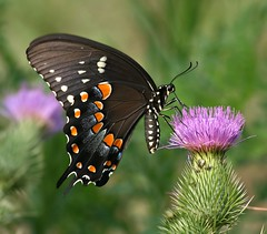 Spicebush Swallowtail (DrPhotoMoto) Tags: blue orange white black green nc purple thistle july northcarolina papilio spicebushswallowtail richmondcounty troilus papiliotroilus supershot 9cm colorphotoaward goldstaraward auniverseofflowers spectacularmacro