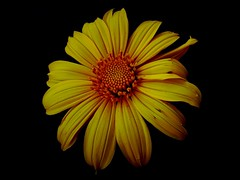 Quinta flower (Tarcsio Schnaider) Tags: brazil flores flower fleur yellow brasil amazon natureza flor images grbera amarelo getty  blume fiore asteraceae par fotgrafo bloem oliveira tarcisio amaznia fundopreto  barcarena  cruzadas 7328 mitsuca challengeyouwinner duetos frenteafrente itupanema schnaider dc7328br thechallengefactory folhasbasais aqunioacicular