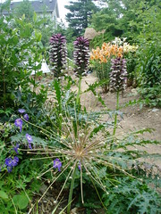 Allium and Acanthus