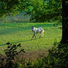 a lot of green and a bit of white (Werner Schnell (1.stream)) Tags: horse evening nikon pferd werner ws schnell mywinners abigfave junkernhees theunforgettablepictures goldstaraward wernerschnell