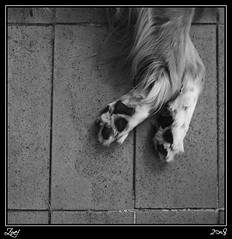 Perezosa... (z-nub) Tags: blackandwhite bw dog blancoynegro animals digital zoe pentax bn perro siesta animales suelo patitas extremidad znub pentaxk100d zoelv mindu formatocuadrado favsegnznub bnysimilares cuadradita zbbn lagordiestaraasienbreve cruzaditadepatas chuchilla enhonoralauadelagordi zoelpez cuadradosverticales sinacento otrotipodevida