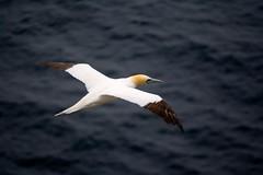 Troup Head Gannet Colony (Pleasureprinciple2013) Tags: scotland birdsinflight gannets seabirds clifftop morayfirth rspb gannetcolony trouphead rspbtrouphead scotlandseabirds seabirdwildlife